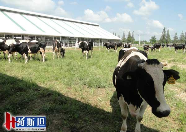 """【组图】中国""""奶牛天堂""""--崇明岛上的一群牛"""